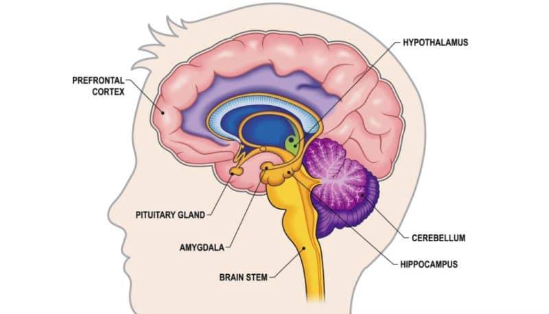 Prefrontal korteks - amigdala - uyku - beyin